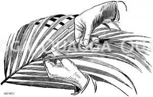 Waschen eines Wedels einer Fiederpalme Zeichnung/Illustration