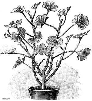 Veranschaulichung des Frühjahrsschnittes an einer Pelargonie Zeichnung/Illustration
