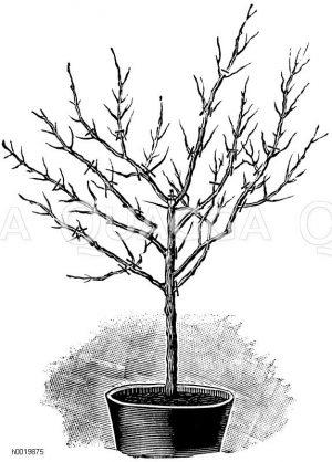 Veranschaulichung des Frühjahrsschnittes an einer ruhenden Fuchsie Zeichnung/Illustration