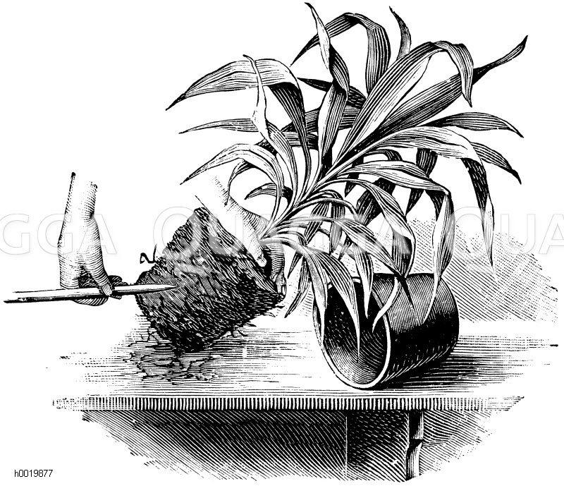 Auflockern des Wurzelballens einer zu verpflanzenden Cordyline Zeichnung/Illustration