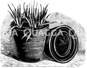 Praktische Stecklingsvermehrung der Remontantnelke Zeichnung/Illustration
