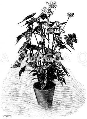Begonie mit metallisch glänzenden Blättern Zeichnung/Illustration
