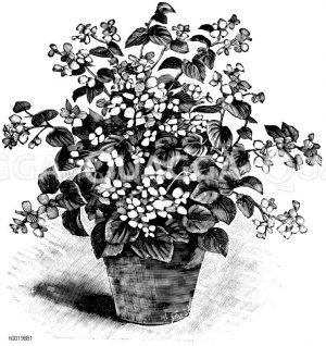 Immerblühende Begonie Zeichnung/Illustration