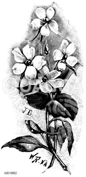 Afrikanische Balsamine Zeichnung/Illustration