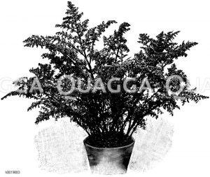 Kanonierpflanze Zeichnung/Illustration