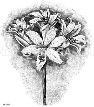 Belladonnenlilie Zeichnung/Illustration