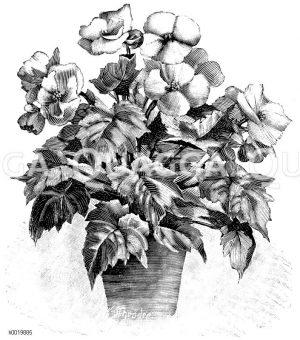 Einfach blühende Blütenbegonie mit aufrecht stehenden Blumen Zeichnung/Illustration