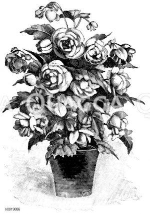 Gefüllte Blütenbegonie Zeichnung/Illustration