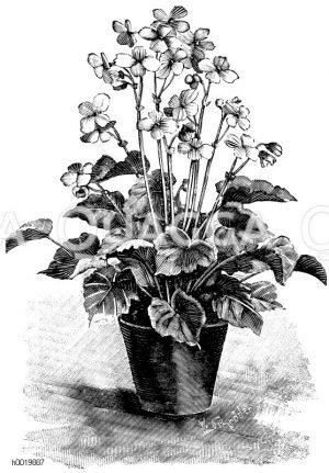 Blütenbegonie mit wohlriechenden Blumen Zeichnung/Illustration