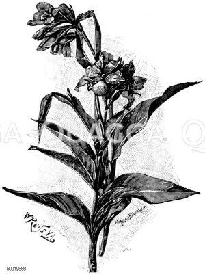 Gladiolenblütige Canna Zeichnung/Illustration