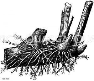 Ausgeputzte Cannaknolle Zeichnung/Illustration