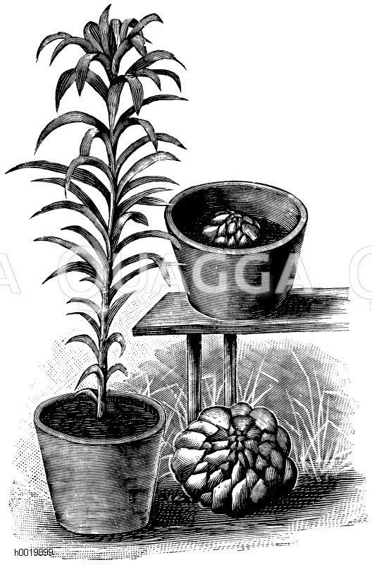 Osterlilie. Links: junge Pflanze