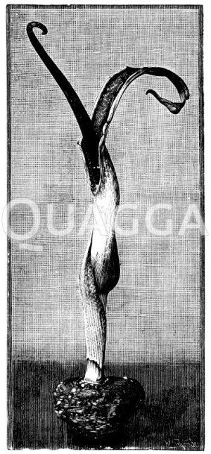 Eidechsenwurz Zeichnung/Illustration
