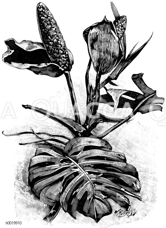 Blüten der köstlichen Monstera Zeichnung/Illustration