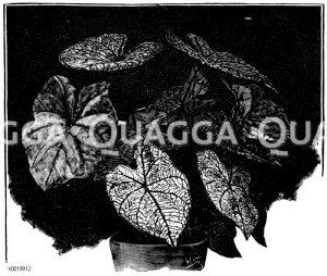 Caladium mit bunten Blättern Zeichnung/Illustration