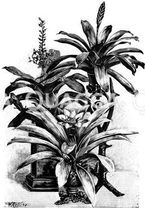 Ananasgewächse. Zeichnung/Illustration