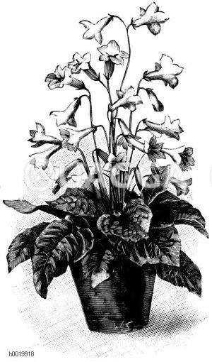 Drehfrucht-Hybride Zeichnung/Illustration