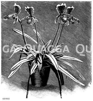 Ausgezeichneter Frauenschuh Zeichnung/Illustration
