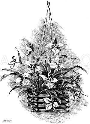 Odontoglossum Rossii Zeichnung/Illustration