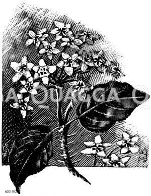 Wachsblume Zeichnung/Illustration