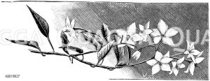 Jasminartiger Nachtschatten Zeichnung/Illustration