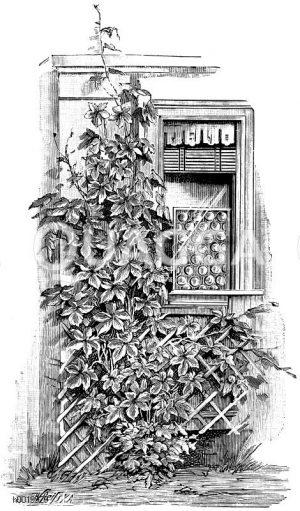Bunter japanischer Hopfen Zeichnung/Illustration