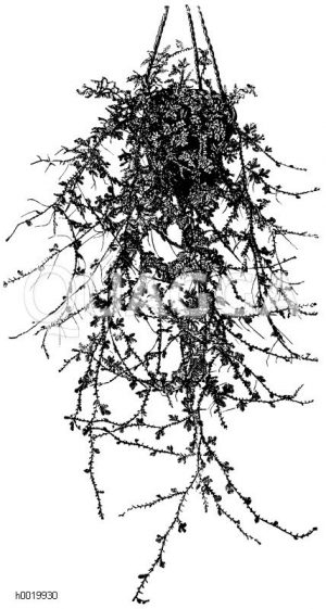 Hechtblaue Selaginella Zeichnung/Illustration