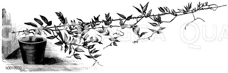 Polemoniaceae - Sperrkrautgewächse