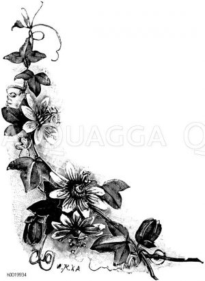 Passionsblume (Blütenzweig) Zeichnung/Illustration