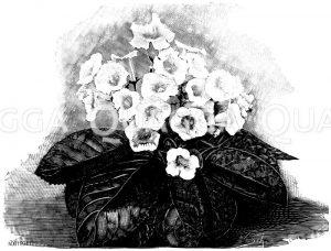 Gloxinie mit aufrechten Blumen Zeichnung/Illustration