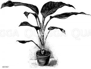 Bowmanns Dieffenbachie Zeichnung/Illustration