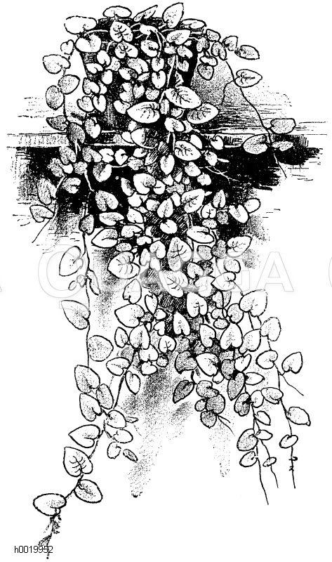 Rankende feige - Rankende zimmerpflanzen ...