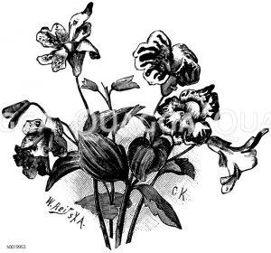 Affenblume Zeichnung/Illustration