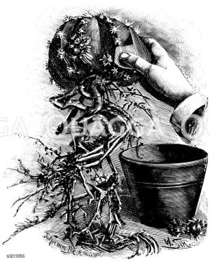 Scharfkantiger Seeigelkaktus zum Verpflanzen hergerichtet Zeichnung/Illustration