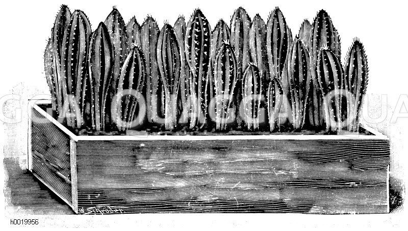 Kräftige Säulenkakteensämlinge in einem Holzkistchen Zeichnung/Illustration