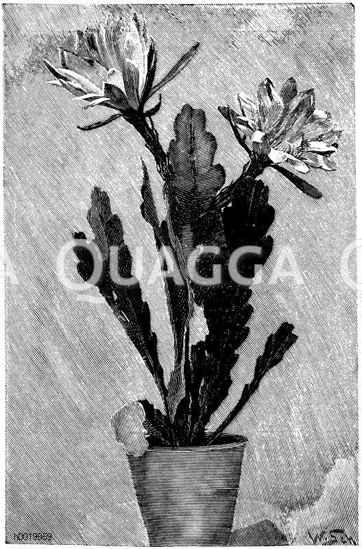 Breitlaubiger Blattkaktus Zeichnung/Illustration