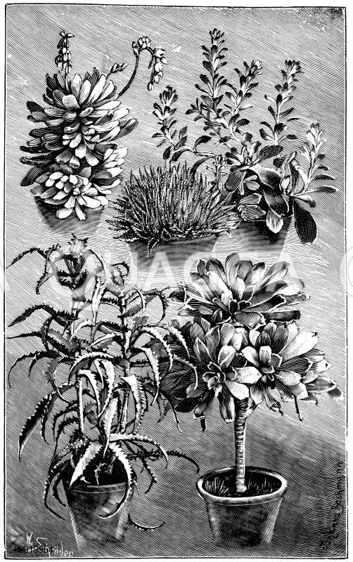 Fettpflanzen