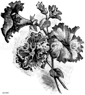 Petunien mit gefransten Blumen Zeichnung/Illustration