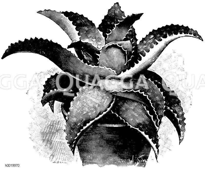 Seifenaloe Zeichnung/Illustration