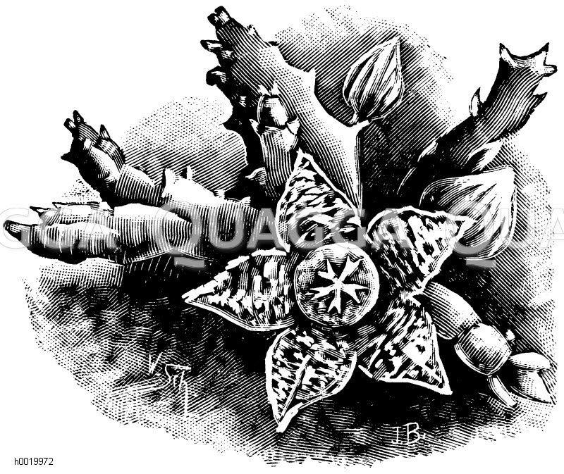 Bunter Aaspflanze Zeichnung/Illustration