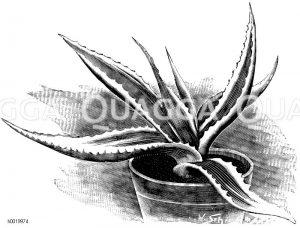 Gelbbuntblättrige bemalte Agave Zeichnung/Illustration