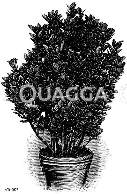Bunter japanischer Spindelbaum Zeichnung/Illustration