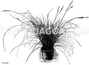 Cyperaceae - Sauergräser