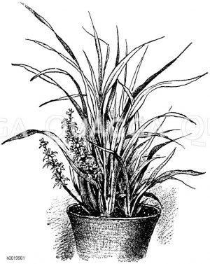 Fleischfarbige Reineckea Zeichnung/Illustration