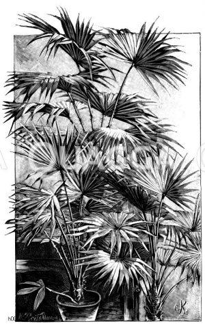 Palmen mit fächerförmigen Blättern. Australische Schirmpalme (links); Borbonische Fächerpalme (mittig); Hohe Zwergpalme (rechts) Zeichnung/Illustration