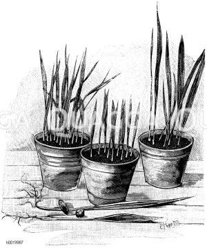 Palmensämlinge Zeichnung/Illustration
