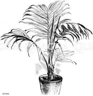 Bauers Arecapalme Zeichnung/Illustration