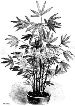 Japanesische Fächerpalme Zeichnung/Illustration