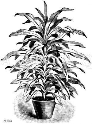 Lindens Drachenbaum Zeichnung/Illustration