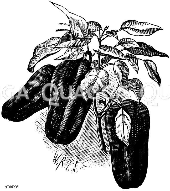 Spanischer Pfeffer Zeichnung/Illustration